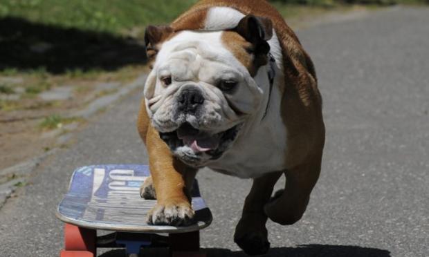 Morre o cachorro Tillman, famoso por surfar e andar de skate Timothy A. Clary/AFP / Getty Images