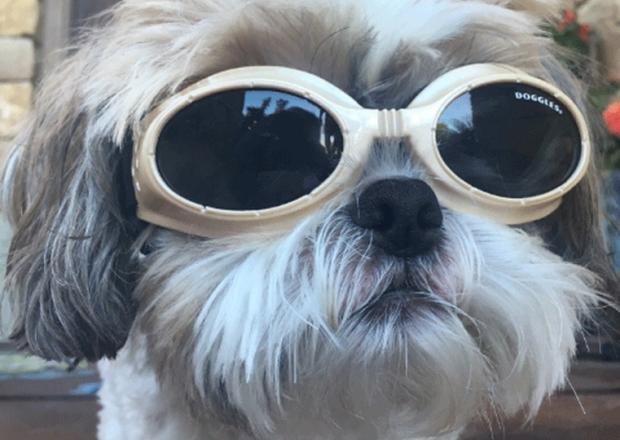 Cachorrinho que precisa usar óculos faz sucesso na internet Reprodução / Twitter/Twitter