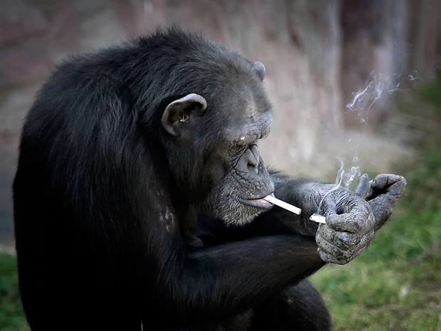 Fotos mostram chimpanzé fumando em zoológico Wong Maye-E / AP/AP