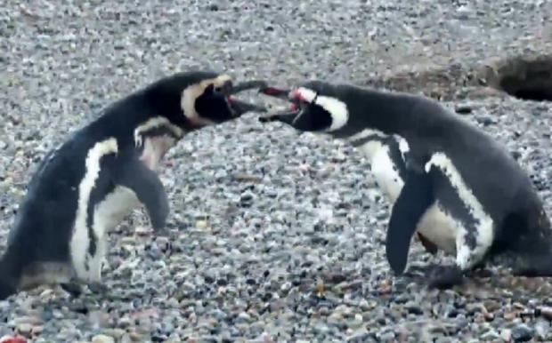 Vídeo: Pinguins partem para a violência em disputa por fêmea Reprodução / Twitter/Twitter