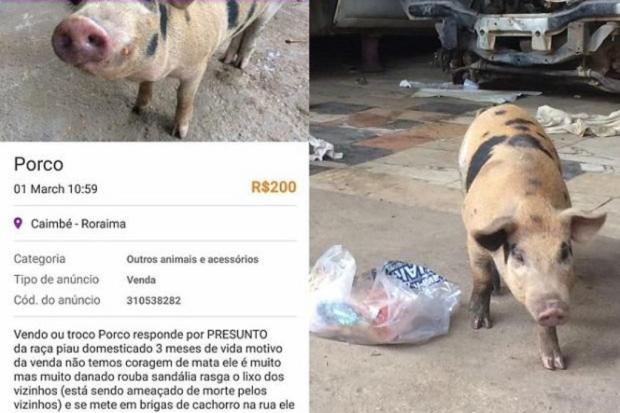 Sem descanso, homem vende porco