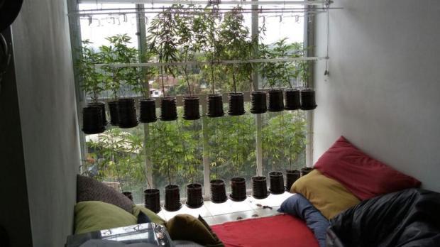 Preso homem que cultivava 27 pés de maconha dentro de casa em Lajeado DIVULGAÇÃO/POLÍCIA CIVIL