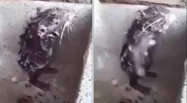 Vídeo de rato tomando banho não era bem de um rato e ele não estava tomando banho Reprodução / Reprodução/Reprodução