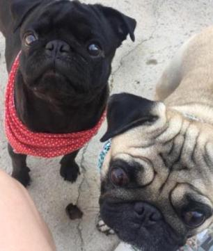 Cães da raça pug são furtados de residência no Vale do Sinos Arquivo Pessoal/Douglas Altissimo