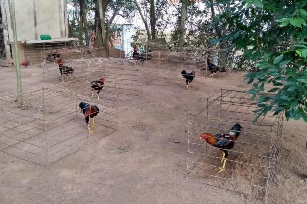 BM apreende 120 galos que seriam usados em rinha em Sapucaia do Sul Divulgação/Brigada Militar