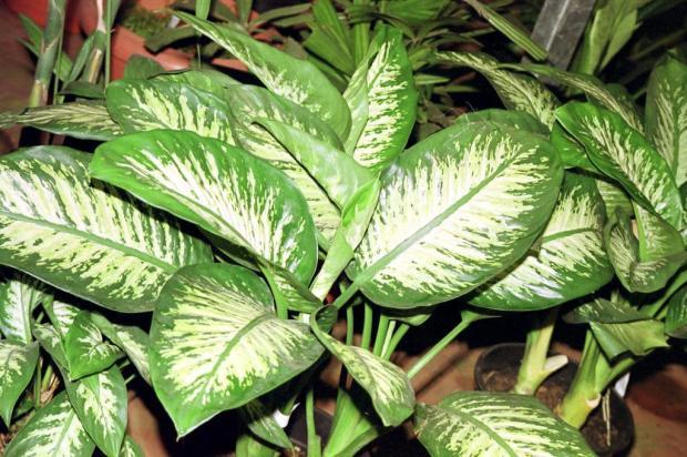 Plantas tóxicas: será que você tem uma em casa? Veja cuidados necessários com elas Carlos Edler/Ver Descrição