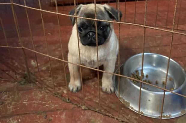Ativistas resgatam 49 cães da raça pug em supostas condições de maus-tratos em São Sebastião do Caí SOS PUG/Divulgação