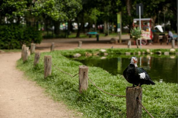Antigos moradores do Parcão, patos passarão por exames e serão retirados pela prefeitura Marco Favero / Agencia RBS/Agencia RBS